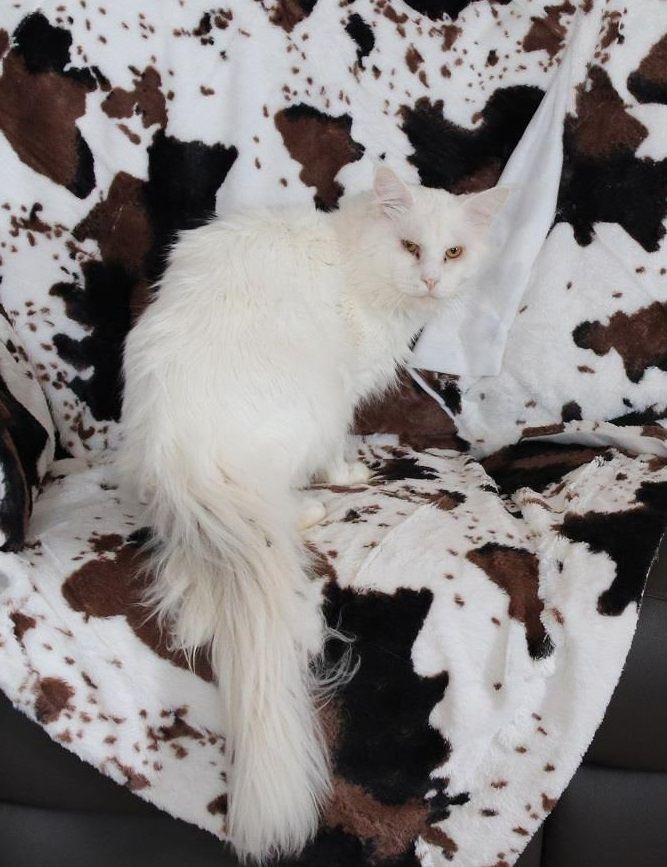 Maine Coon - catsvill county's Uriy olegovich