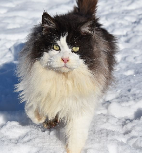 Maine Coon - Wild Lynx Mustang of spirit