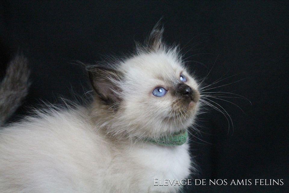 Ragdoll - Perla blue Nos Amis Félins