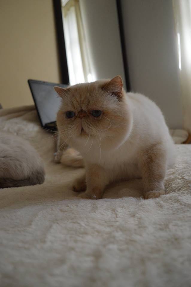 Exotic Shorthair - Dream Jewel's Ice and fire