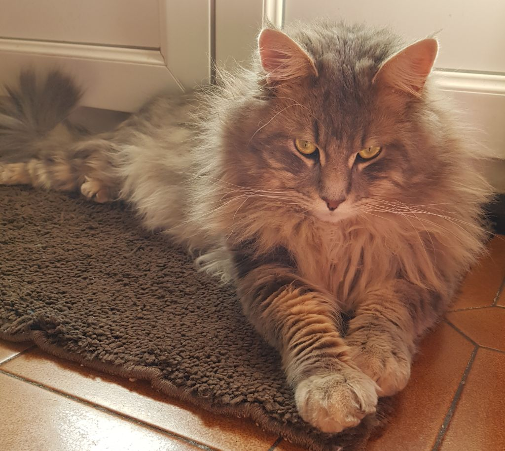 Maine Coon - Mazout d'epytie