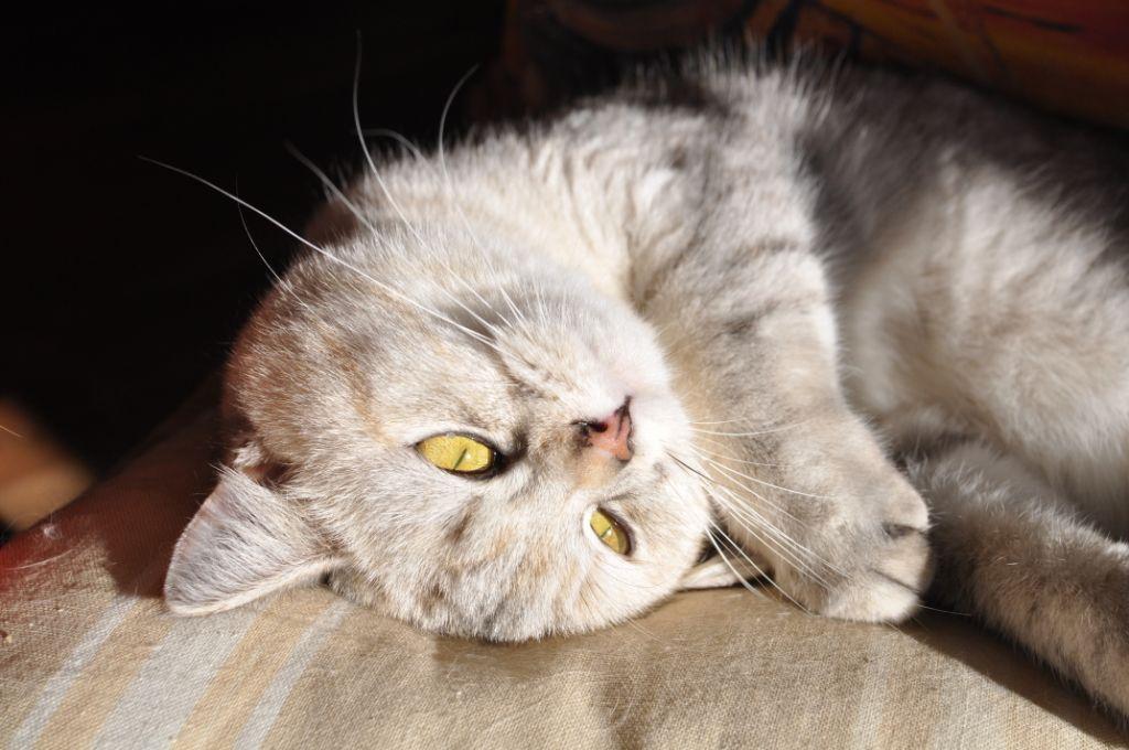 British Shorthair et Longhair - Mili mali malou de la casa des gatti
