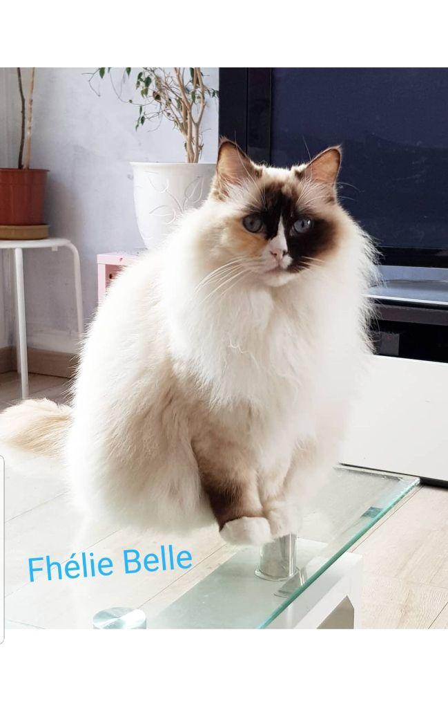 Ragdoll - Fhecie belle Des Amoursdemancamony