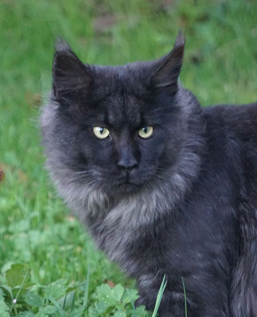Maine Coon - little big horn's Pretty cat pouffy