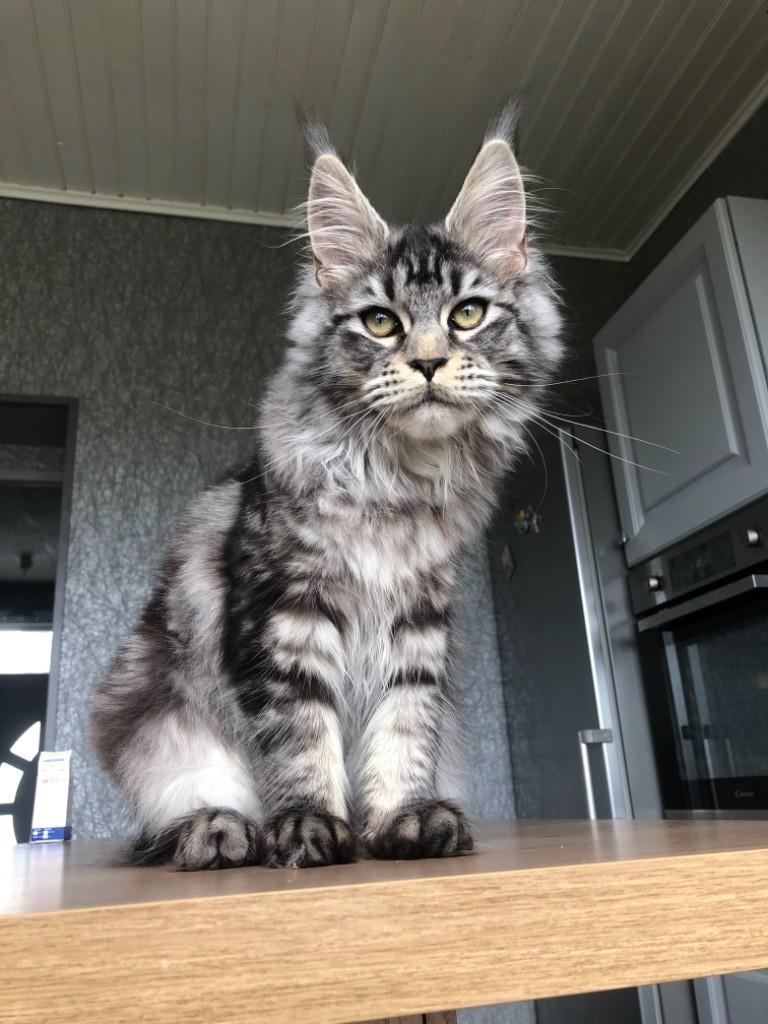 Maine Coon - Reden cat's coon