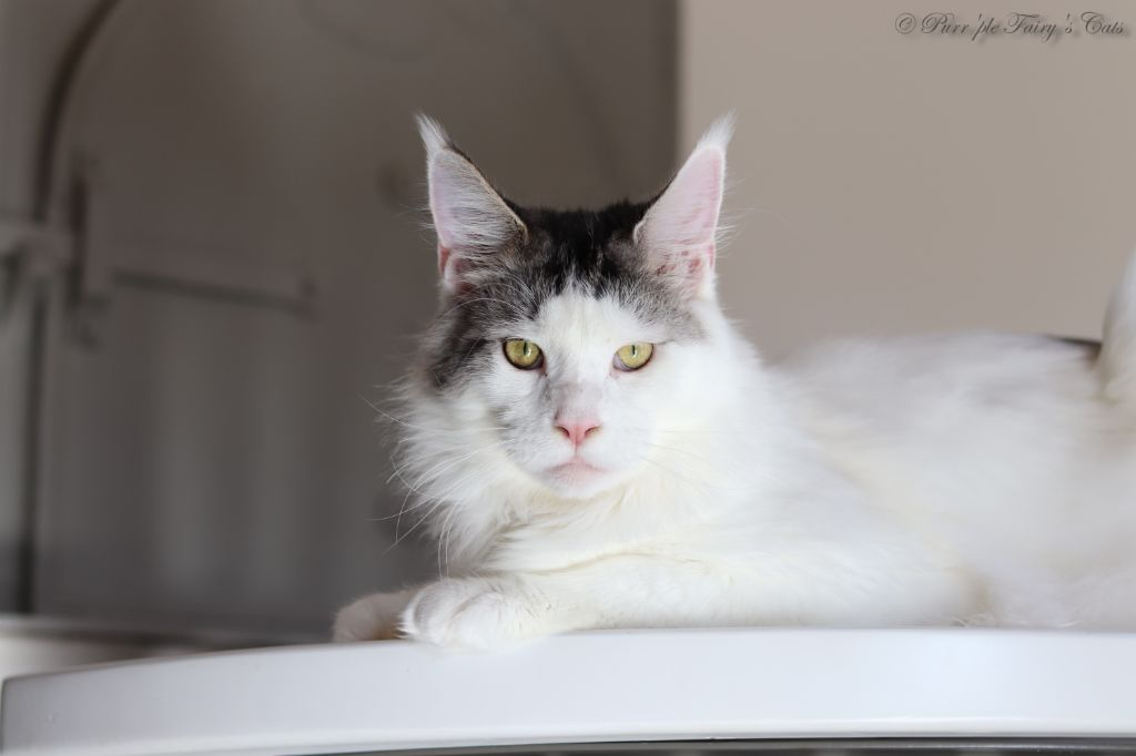 Maine Coon - patayan's Placebo