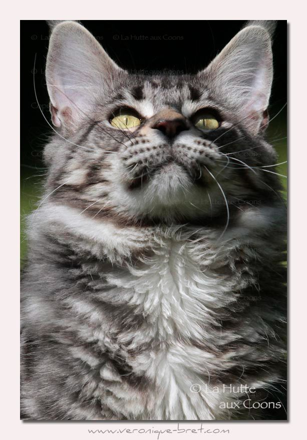 Maine Coon - witchcoon's Rhapsody pp