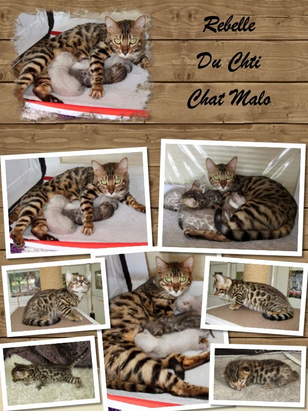 Bengal - Rebelle Du Chti Chat Malo