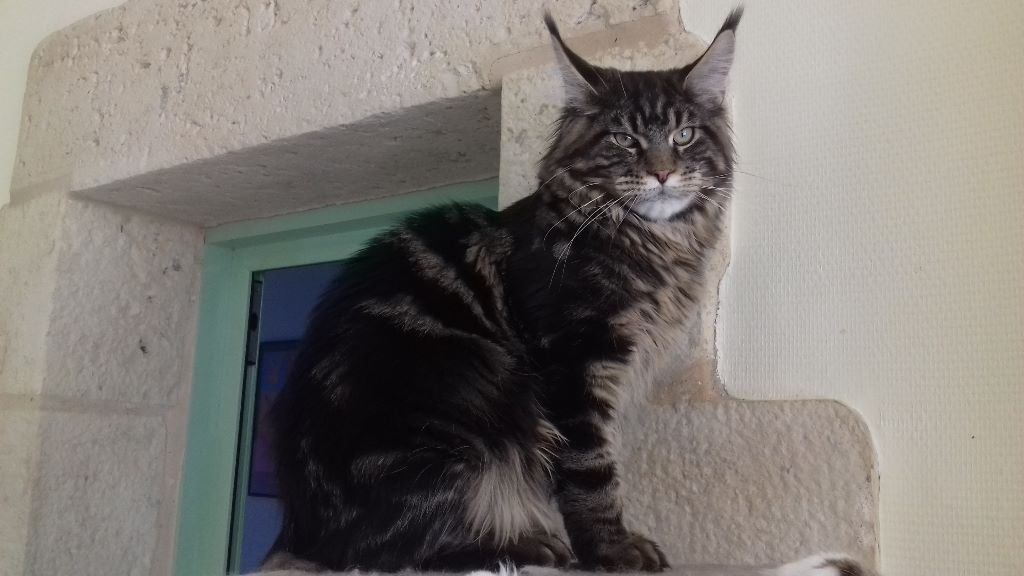 Maine Coon - CH. felix theory Canopus
