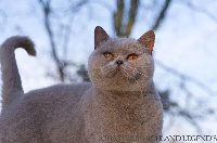 CH. Highland Legends Jade championne British Shorthair et Longhair