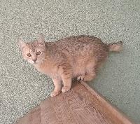 CH. wild cat of moscou Pandora