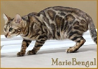 marie bengal Gold n' ruch
