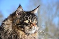 Wild Lynx Ivy