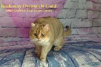 CH. burleaway Dreamsofgold