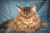 Litchie Des Lynx Majesty
