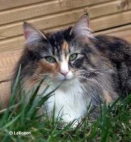Forest Cat Belle, GIC DVM