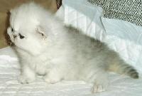 bogart cats Sugar bear