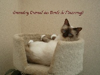 CH. Greenday eternal Des Bords de l'Incaougji
