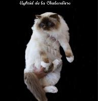 CH. Aghrid de la chalardiere