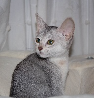 CH. Jolie angelina silver De Lord Chester