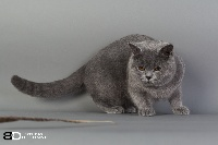 Nomalys Dreams Jédi British Shorthair et Longhair