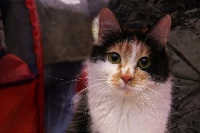 CH. Chrisanthema karmino cat
