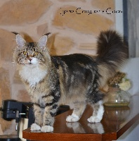 Iyana Couguar's Coon Maine Coon