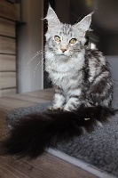 JUST YANA (Joy) De La Cite D'arrakan Maine Coon