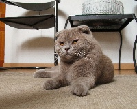 I tune de dicxiland Des Emrys Scottish Fold