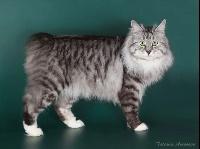 CH. Marzipan karmino cat