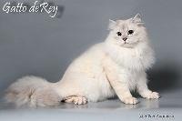 CH. Ameris-ani gatto de rey