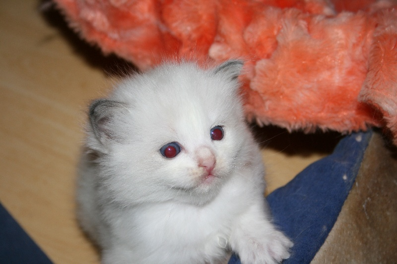 CHATON MISS BLUE B -