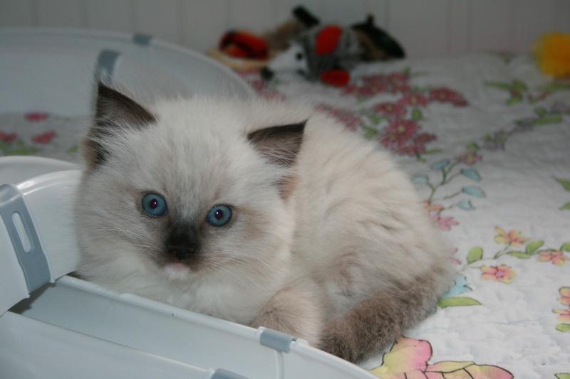 de Kitten Tale - Ragdoll - Portée née le 11/04/2016