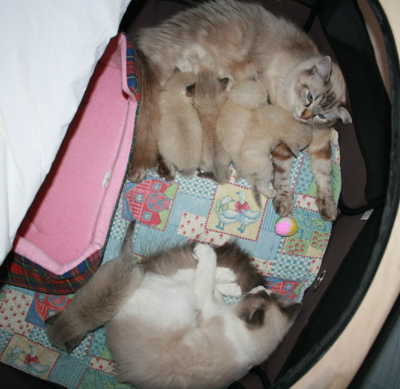 de Kitten Tale - Ragdoll - Portée née le 08/09/2011