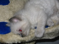 de Kitten Tale - Ragdoll - Portée née le 07/07/2007