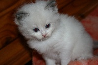 CHATON MISS BLUE B - Ragdoll