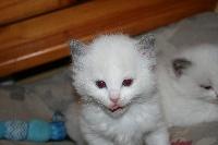 de Kitten Tale - Chaton disponible  - Ragdoll