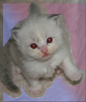 de Kitten Tale - Ragdoll - Portée née le 06/08/2012