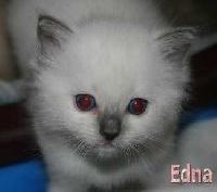 de Kitten Tale - Ragdoll - Portée née le 13/05/2009