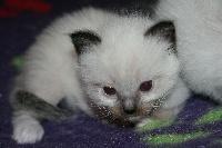 de Kitten Tale - Ragdoll - Portée née le 16/01/2014