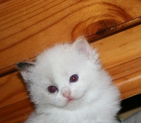 de Kitten Tale - Chaton disponible  - Ragdoll
