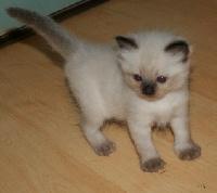 de Kitten Tale - Ragdoll - Portée née le 01/05/2010