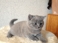 de Linel - Chaton disponible  - Chartreux