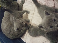 des Bords de Lys - Chaton disponible  - Chartreux