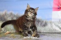 Paname  - Maine Coon