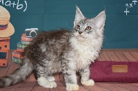 ours polaire - Maine Coon