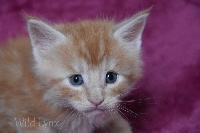 Wild Lynx - Chaton disponible  - Maine Coon