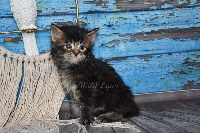 brown  ticked tabby - Maine Coon
