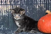 brown blotched tabby - Maine Coon