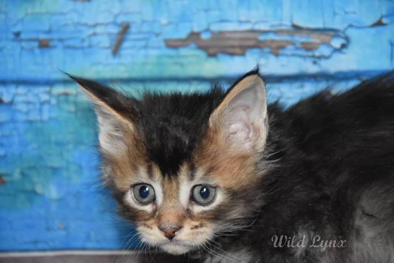 brown ticked tabby ( collier gris )